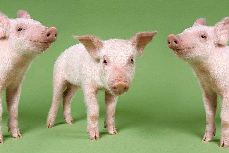 Un cerdo miniatura requerirá tu constante cuidado y atención durante su primera semana de vida.