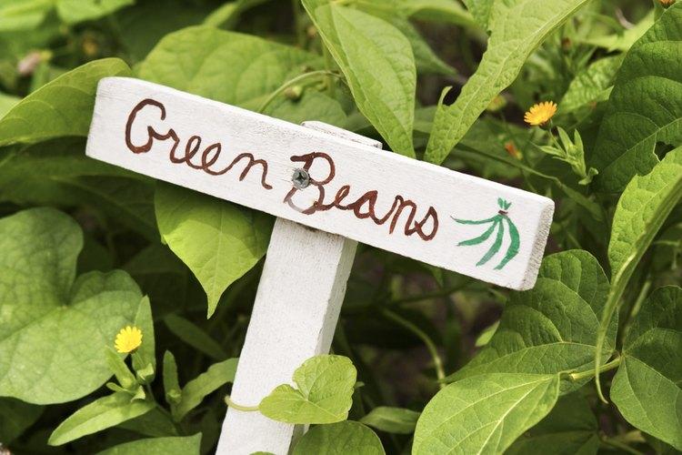 Planta bajo la luz directa del sol para la mejor producción de frijoles.