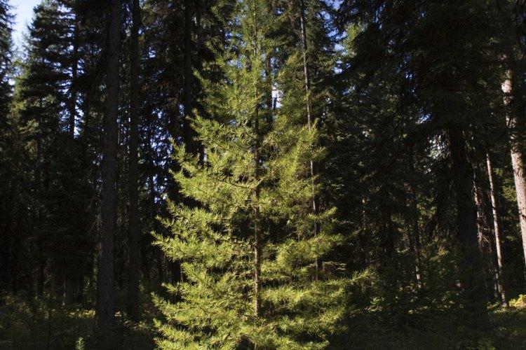 Los árboles de hoja perenne, muchos de los cuales son coníferas, mantienen su follaje durante todo el año.