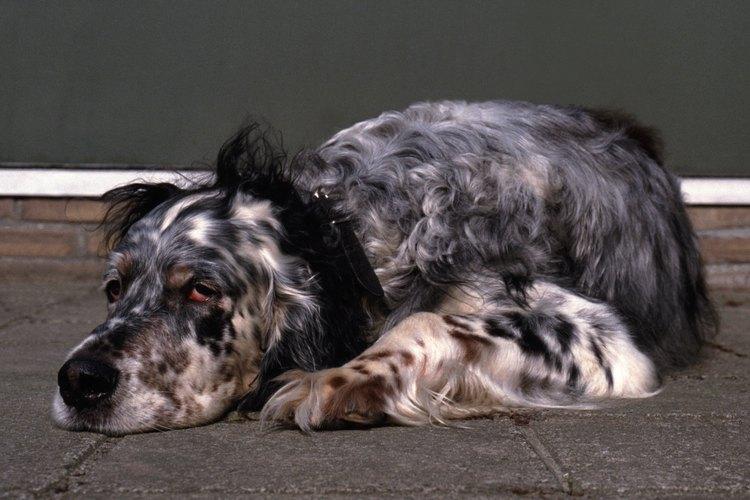 Si tu perro está débil y con las encías pálidas, puede padecer de anemia.