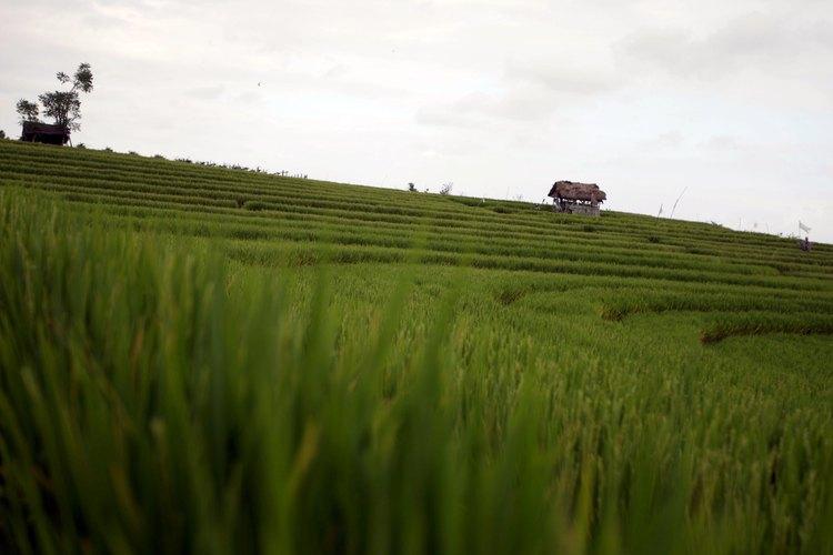 Cruza alrededor de los campos de arroz extendidos por todo el centro de Bali.