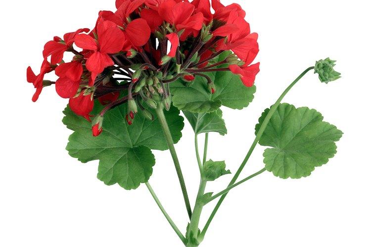 Con la atención adecuada, los geranios seguirán floreciendo.
