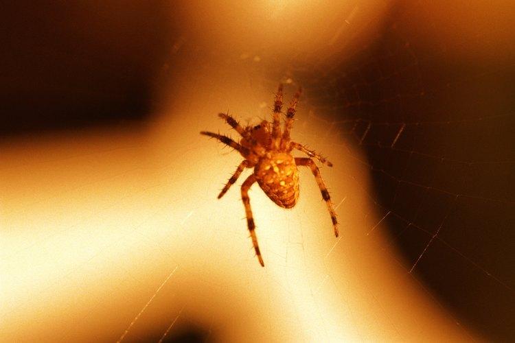 Diferentes tonos de naranja son comunes en las arañas.