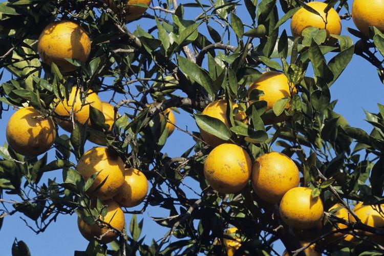 Los naranjos trifoliadas, agrios, mandarinas y tangor tienden a ser algunas de las variedades más espinosas.