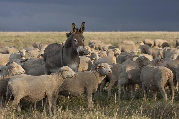 Un burro en medio de un rebaño en Sudáfrica.