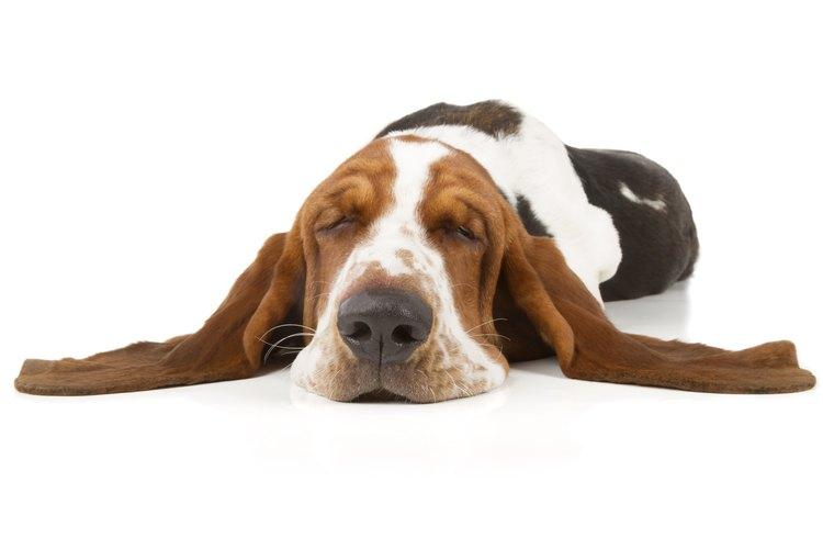 Los perros con orejas colgantes son más propensos a desarrollar infecciones en el oído.