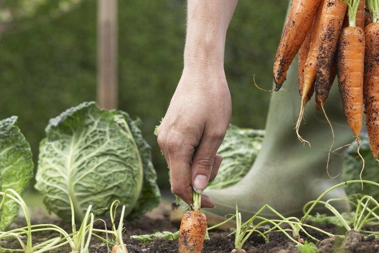 Agarra la parte superior de la zanahoria cerca de la tierra cuidadosamente.