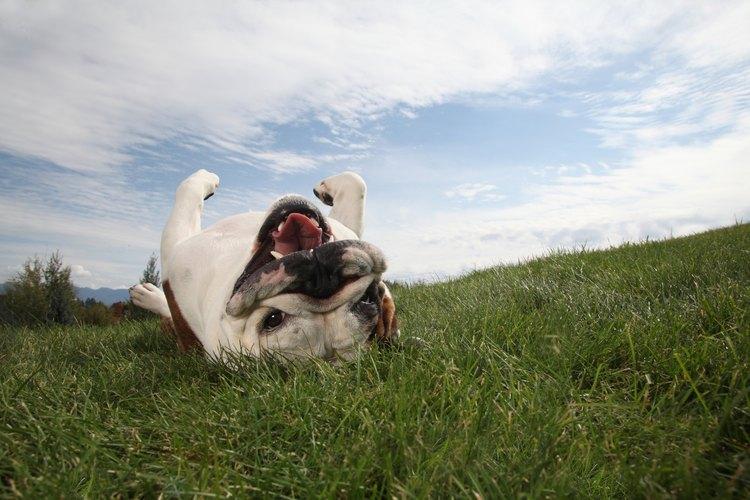 Los productos naturales y comerciales pueden utilizarse para mantener perros fuera de tu césped.
