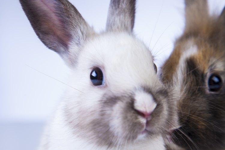 Si se crían como se debe, los conejos pueden ser mascotas longevas y amistosas.