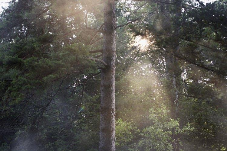 La brea de pino es derivada de la madera y raíces de árboles de pino.