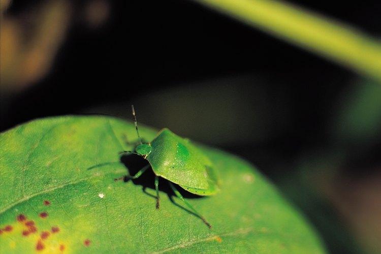 La mayoría de los insectos no causan suficiente daño como para justificar un tratamiento.