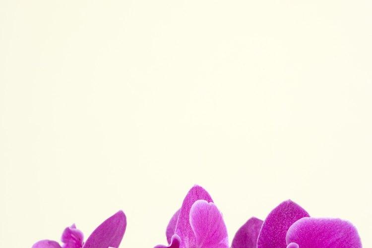 Divide y enraíza una orquídea después de que termine de florecer.