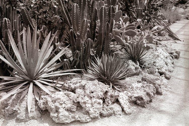 Siembra masiva de cactus y otras plantas suculentas.