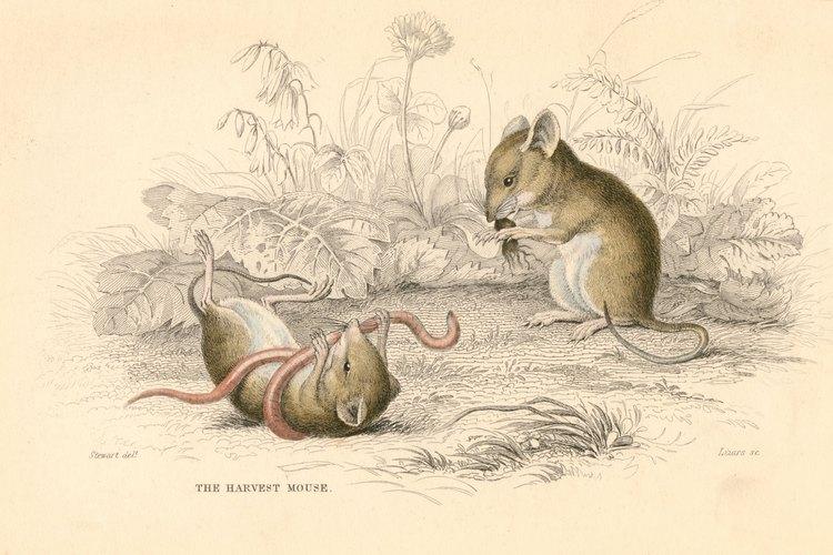 Prevenir a los insectos prevendrá los roedores ya que algunos roedores comen insectos.