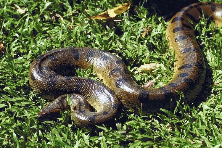 La anaconda verde prefiere cazar en el agua, que le ayuda a sostener su gran peso.
