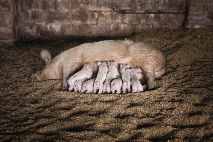 Los lechones jóvenes deben permanecer con su madre hasta que sean destetados.