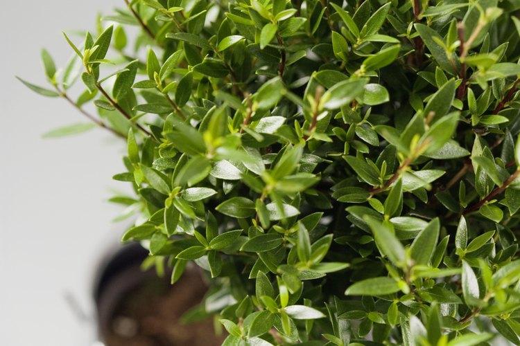 Cómo tratar las manchas blancas en los arbustos |