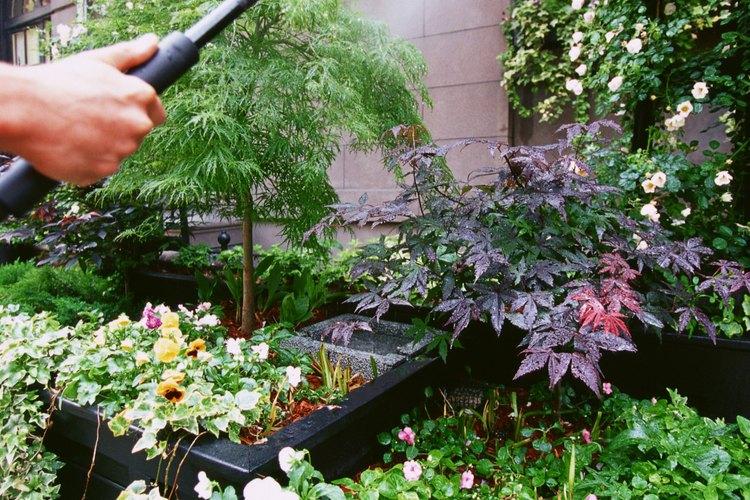 Dale a tus plantas de acelga una pulgada (2,54 cm) de agua por semana.