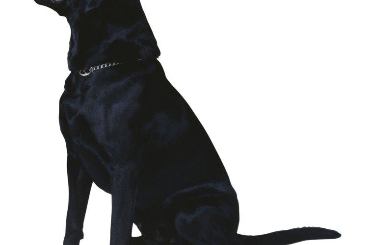 Cómo curar las heridas producidas por una maquina para pelo en un perro.