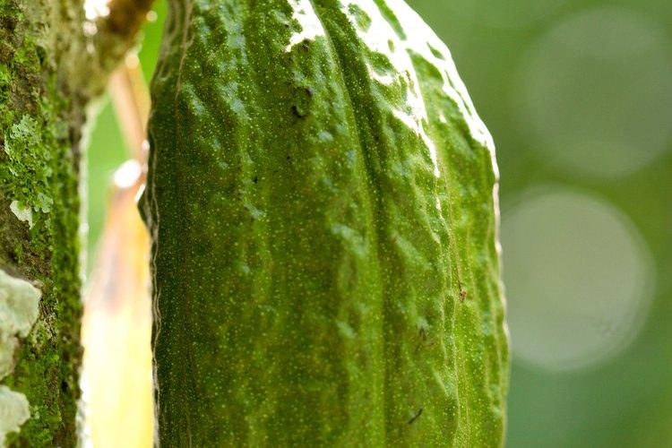 Las vainas de cacao miden entre 4 y 14 pulgadas (10 a 35 cm) de largo.