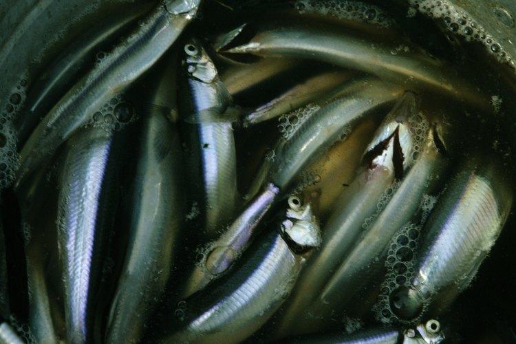 El arenque, un pez de agua fría, es abundante en ácidos grasos omega 3.