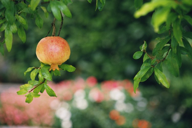 Viendo una granada en un árbol, es fácil imaginar cómo la fruta en desarrollo fue una vez una flor.