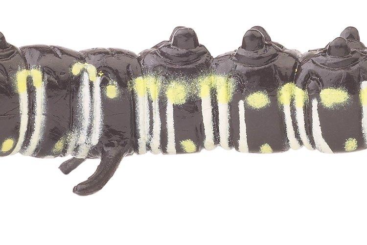 Determinar la especie de orugas depende en gran parte de su coloración y manchas.