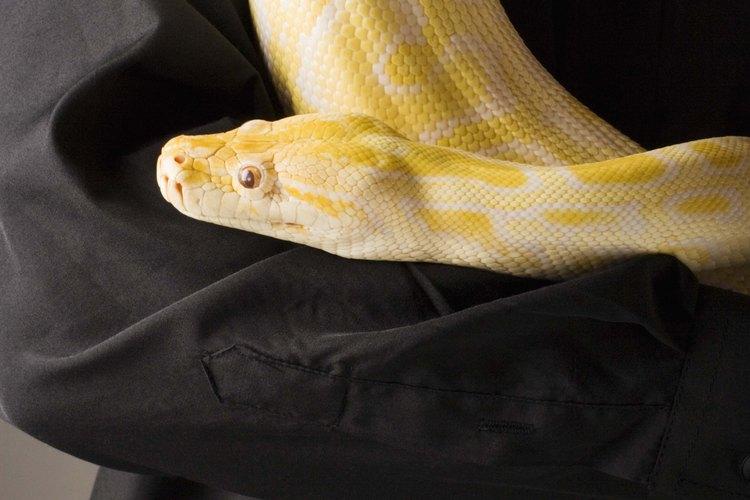 Serpiente amarilla puede referirse a muchas variedades de serpiente.