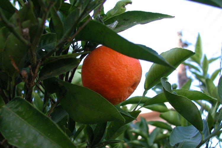 Algunos tipos de árboles de naranjo como la mandarina clementina requieren polinización cruzada con una variedad diferente de árbol cítrico para producir fruto.