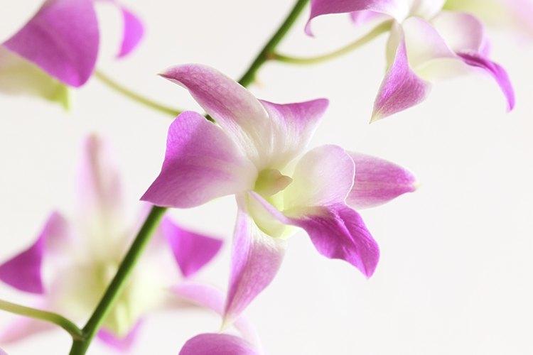 Las orquídeas u orquidáceas (nombre científico Orchidaceae) son una familia de plantas monocotiledóneas que se distinguen por la complejidad de sus flores.