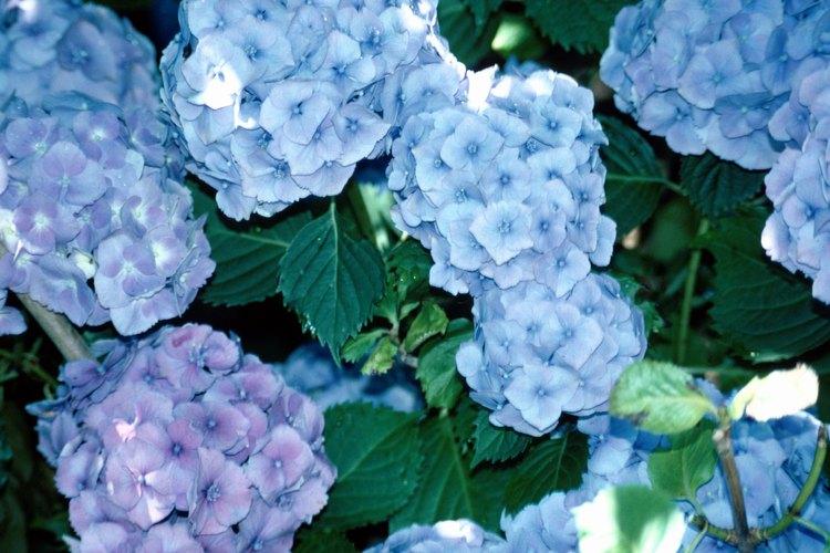 Cuidado de hortensias en macetas - Hortensias cuidados maceta ...