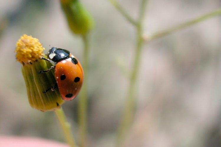 Las mariquitas ayudan a controlar las poblaciones de plagas de insectos.