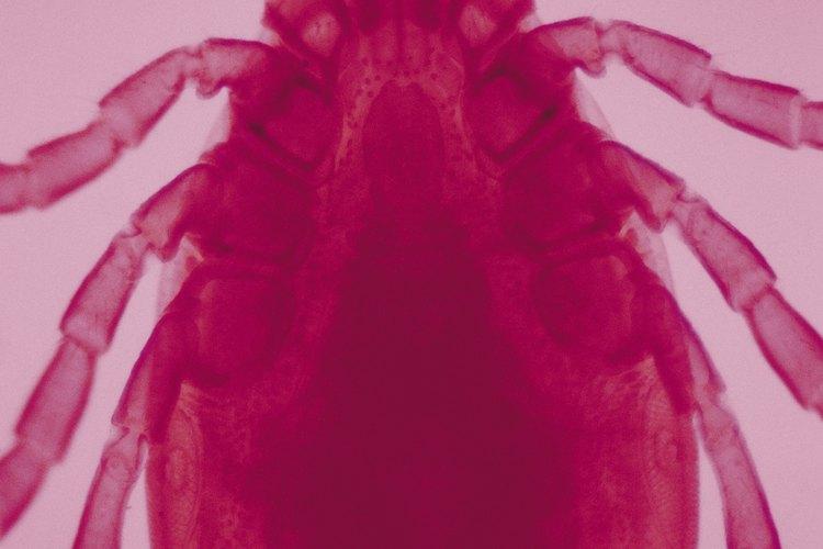 Las garrapatas son parásitos que se alimentan de sangre de animales.