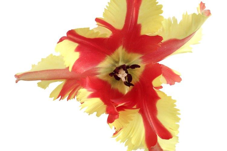 Los pétalos flexibles -casi danzantes- y los flecos son las características principales de un tulipán Papagayo.