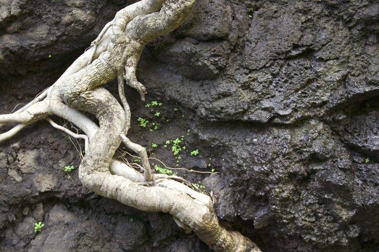 Desentierra el sistema de raíces muerto con una pala.