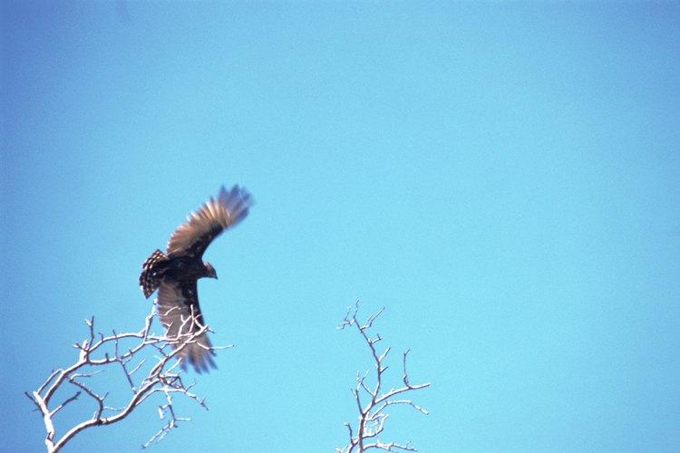 Micronisus es un género con sólo una especie de halcón.