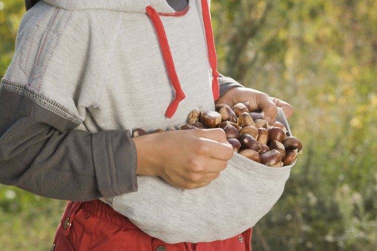Las castañas maduras caen al suelo en septiembre y octubre.