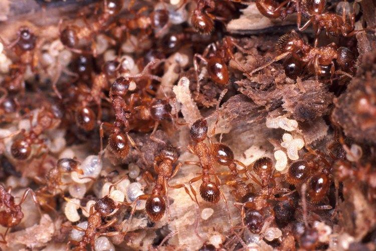 Las hormigas son insectos sociales.
