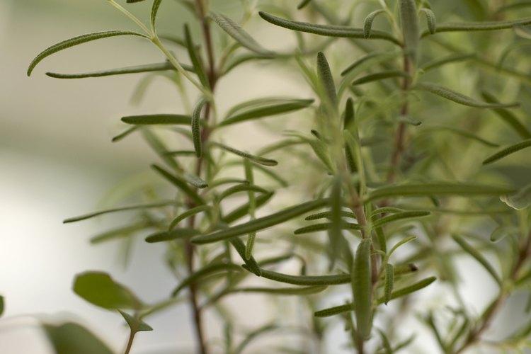 Comienza tus semillas de romero en el interior durante el invierno y luego trasplanta las plántulas en la primavera.