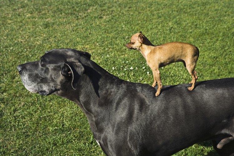 Las razas gigantes tienen un gran apetito.