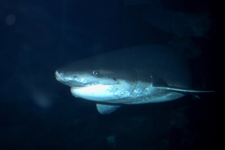 La carne de tiburón puede consumirse de distintas maneras.