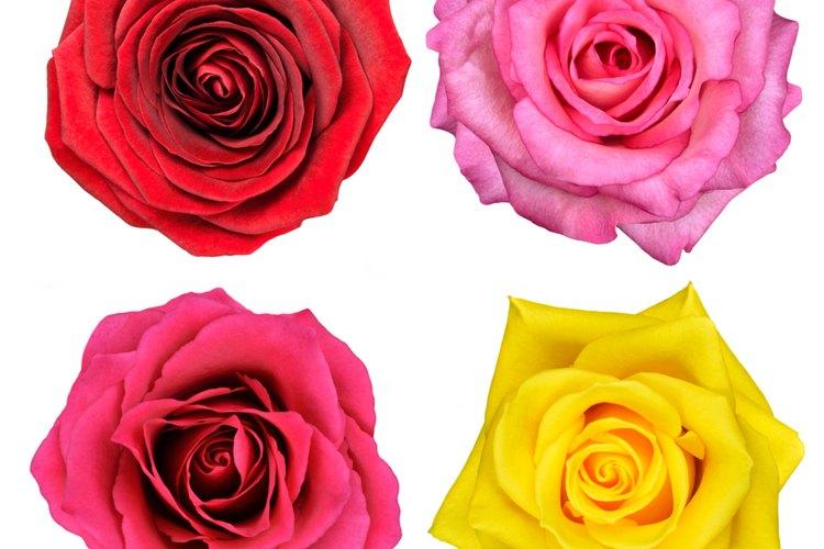 El color de las rosas simboliza virtudes, como el amor y la inocencia.