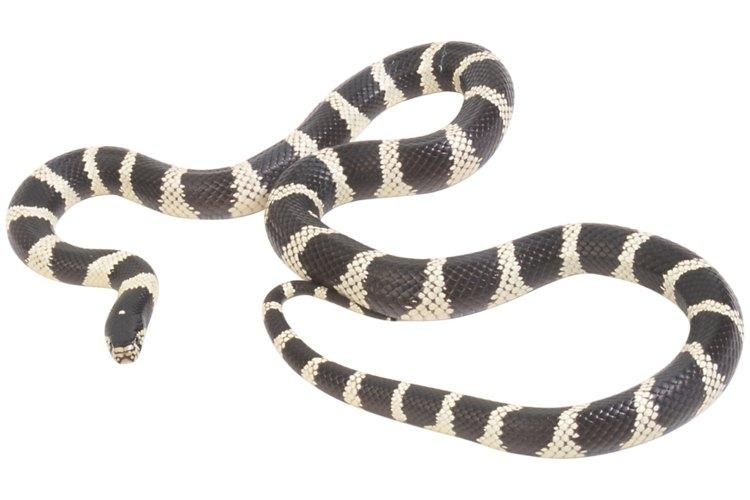 Evita la manipulación de serpientes salvajes.
