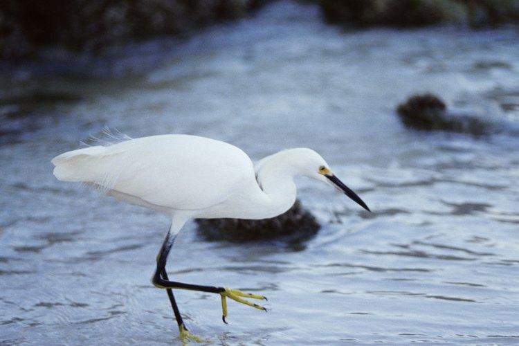 La garza blanca usa su pico para pescar.