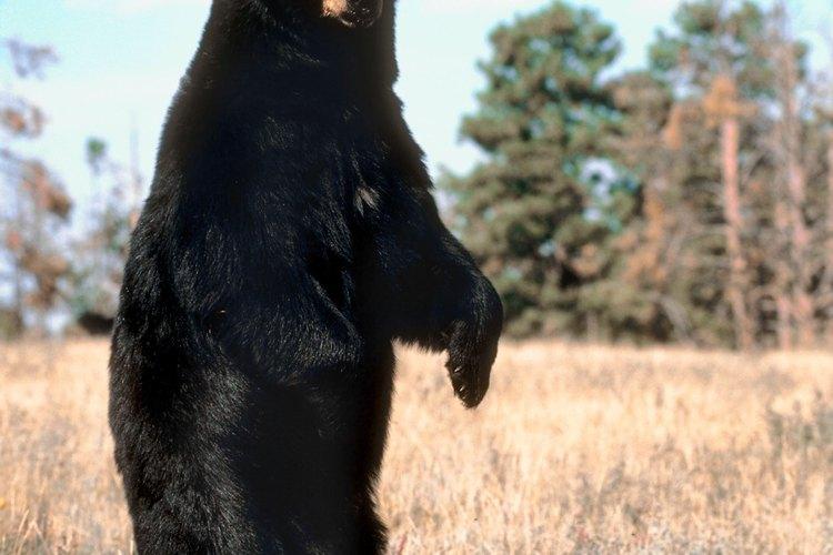 Un oso negro parado es curioso, no necesariamente peligroso.