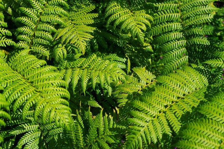Los helechos son plantas ornamentales.