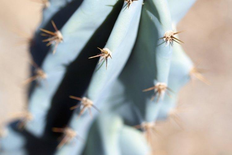 Poda el cactus para salvarlo de la putrefacción.