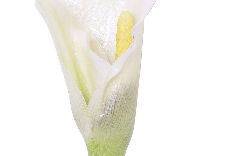 El lirio casa blanca tiene pétalos blancos puros con filamentos al centro largos coronados con anteras rojo oscuro.