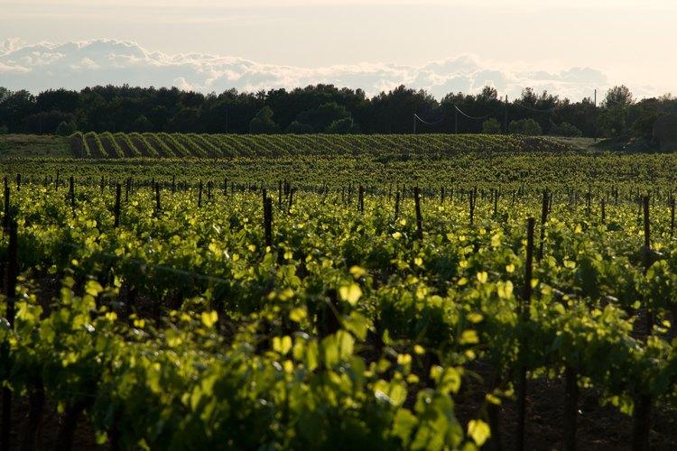 Las raíces de las uvas cultivadas para vino suelen ser más profundas que las raíces de uvas cultivadas para jugo.