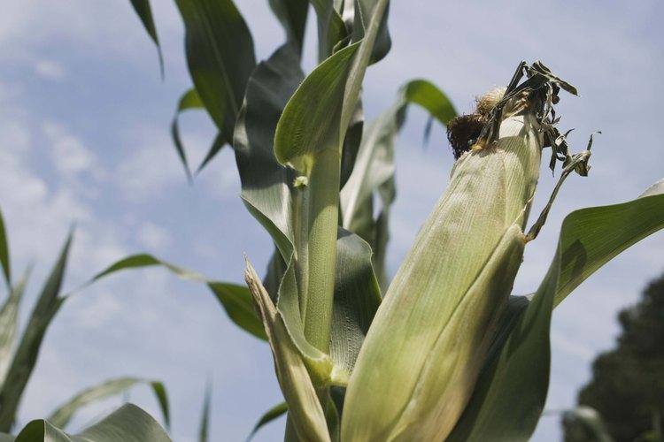 El maíz y los frijoles son plantas de compañía.